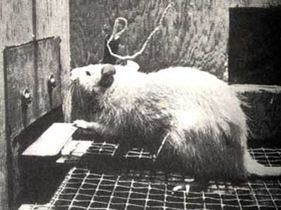 photograph of an intra-cranially self-stimulating rat